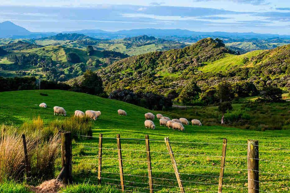 Viel Grün, viel Weite und viele Schafe: Menzel hat sich unsterblich in das Land der Kiwis verliebt.
