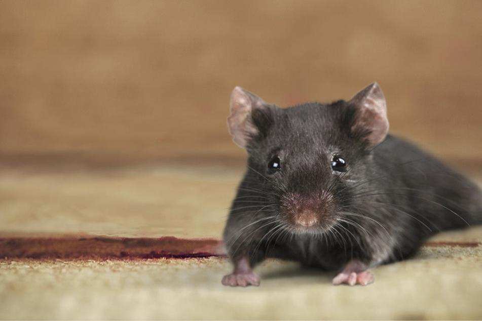 Eine Ratte bringt immer Unruhe in Wohnungen.