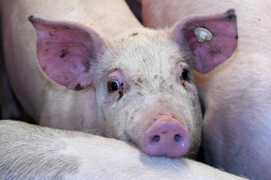 Blutige und zusammengenähte Schweinehaut vor CDU-Büro aufgehangen