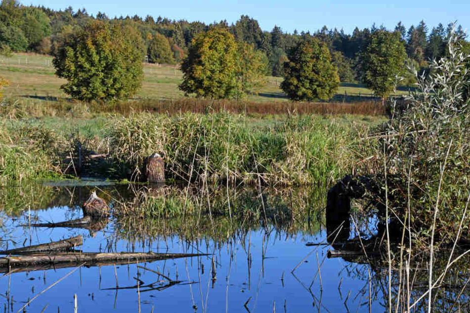 Biber auf dem Vormarsch: Durch einen Damm erschuf er Nager den Teich im Westerwald.