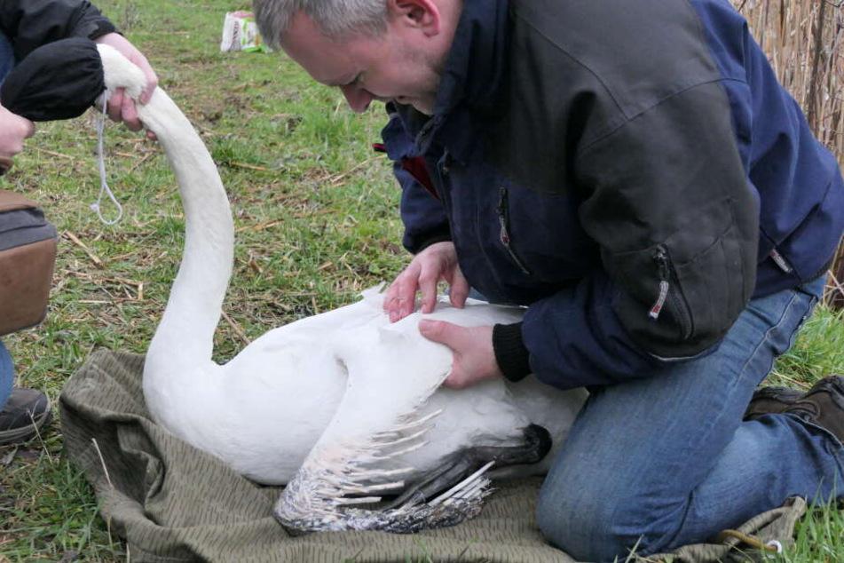 """Der ehrenamtliche Tierschützer Karsten Peterlein untersuchte """"Swanhilde"""" noch vor Ort, brachte sie dann in eine Leipigzer Klinik."""