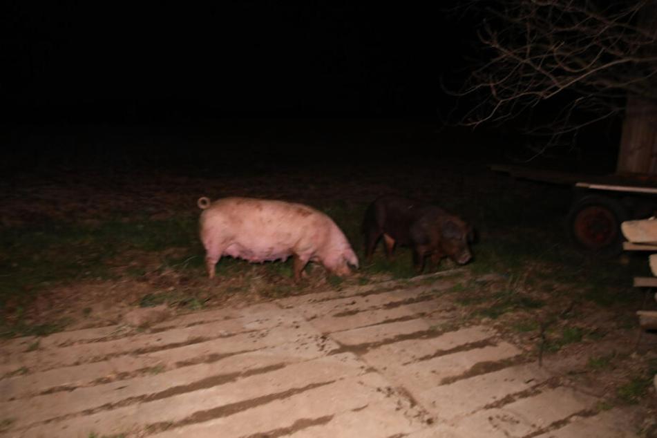 In der Scheune befanden sich 24 Zuchtschweine, die aber gerettet werden konnten.