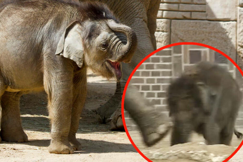 Leipziger Elefantenbaby von Tante getreten und geschlagen