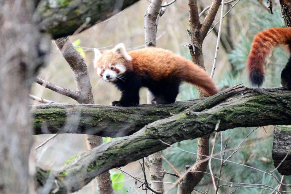 Eines der drei Pandababys im Dresdner Zoo.