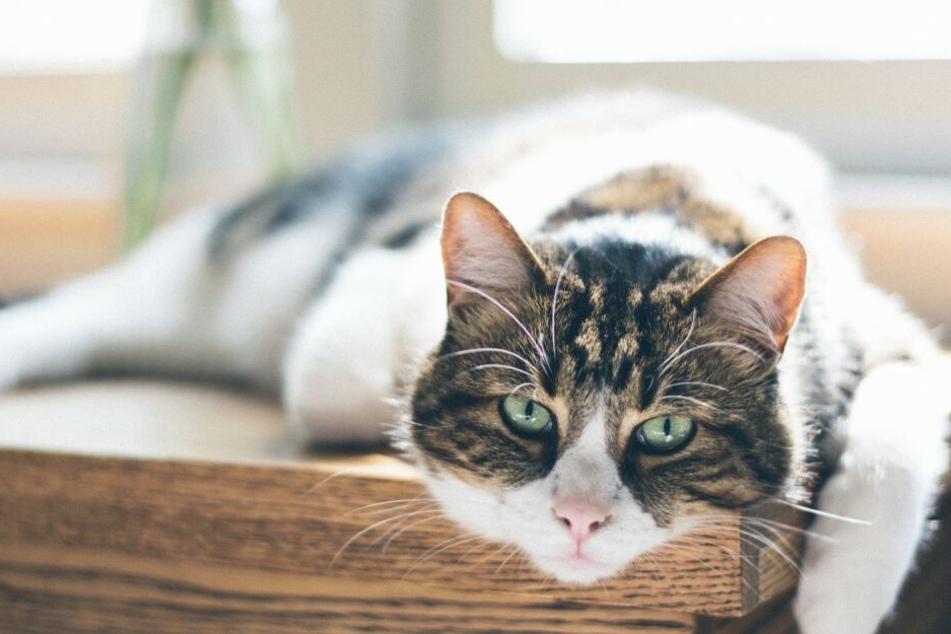 Wenig Bewegung und falsche Ernährung führen zu Übergewicht bei Katzen.