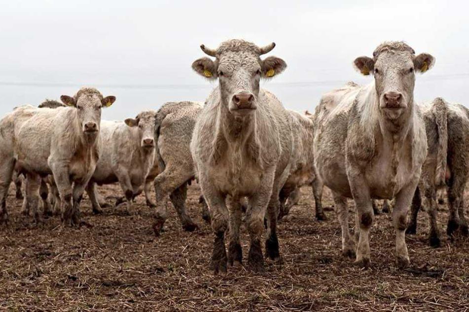 Eine Rinderherde mit 200 Tieren soll über Nacht von einer Weide verschwunden sein.