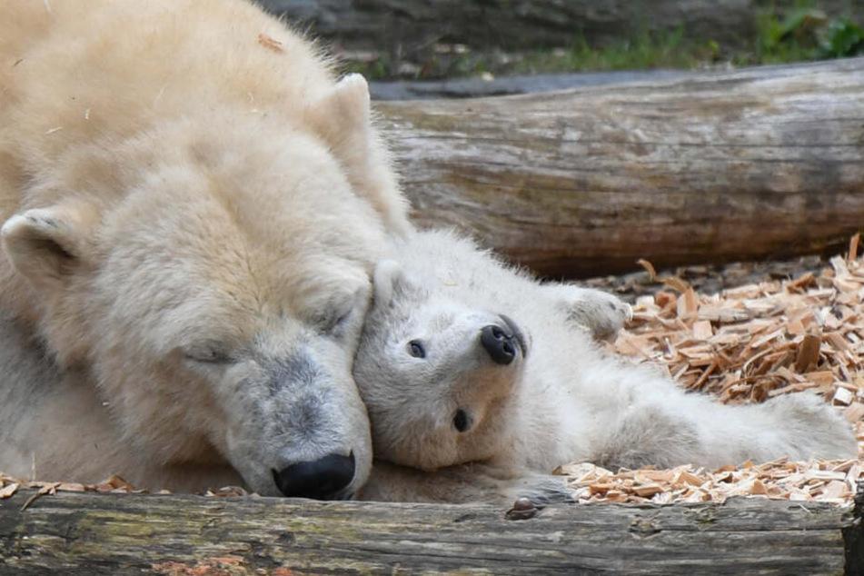 Am Dienstag findet im Berliner Tierpark die Taufe von Eisbärin Tonjas Nachwuchs statt.