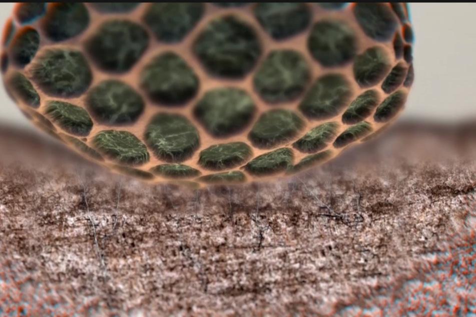 """Einmal gelandet, bilden Sporen im Untergrund mega lange """"Fühler"""" aus, die sich zu einem Geflecht entwickeln."""