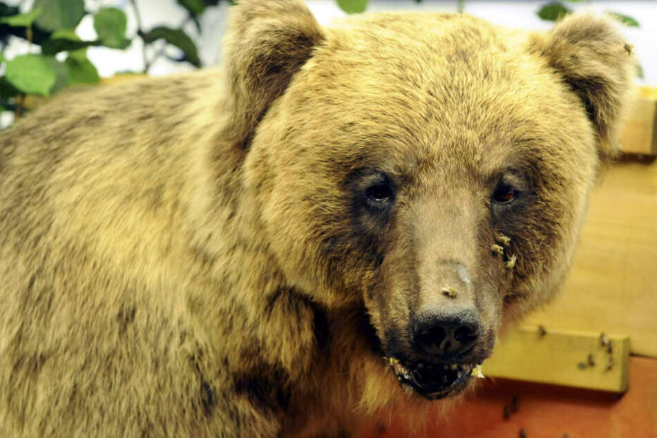 """Der ausgestopfte Braunbär """"Bruno"""", aufgenommen im Museum Mensch und Natur."""