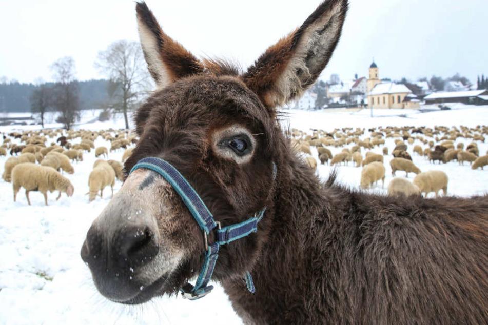 Ein Esel und eine Schafherde suchen vor der barocken Kirche St. Nikolaus in Göffingen auf einer mit Schnee bedeckten Wiese nach Futter. Noch ist der Fürhling nicht bei allen angekommen.