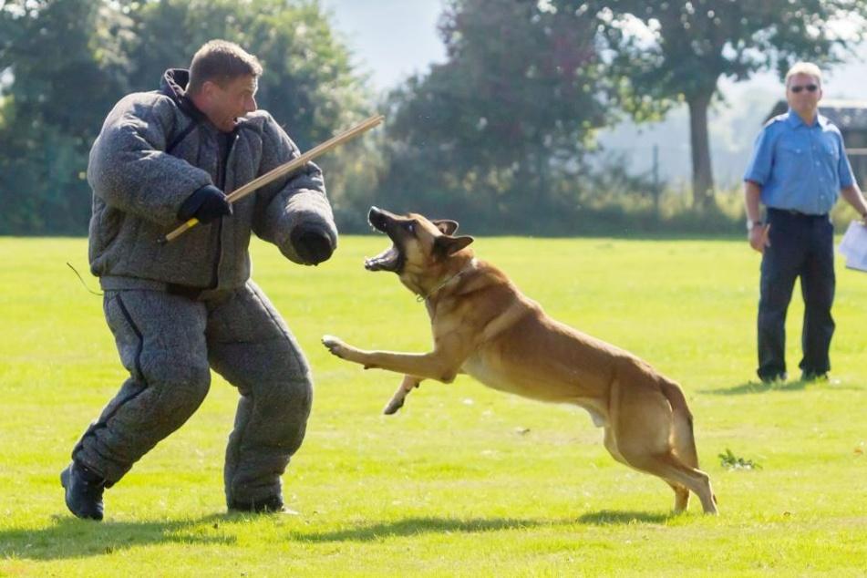 """Schäferhund """"Cody"""" stellt einen Täter, gespielt von einem Polizisten."""
