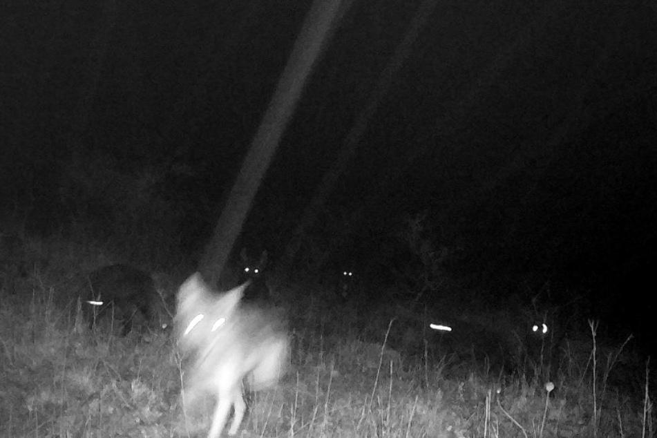 Eine Fotofalle fing die heiklen Wolfsmischlinge schon mal auf eine Bild ein.