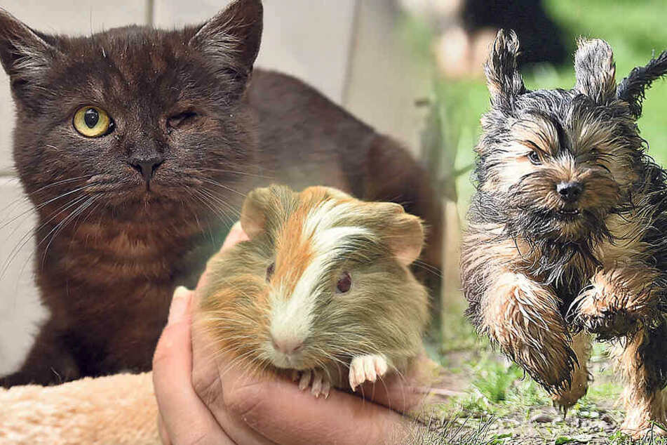 Ob Terrier-Trio, Meerschweinchen-Lady oder Schmusekater: Diese süßen Racker bringen Leben in die Hütte