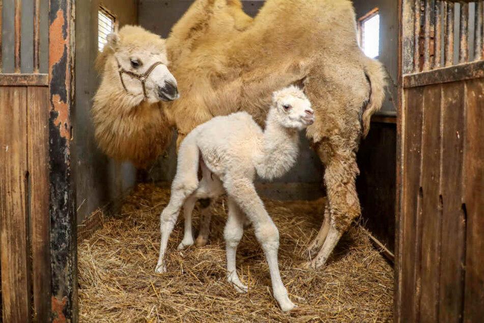 Das Kamel-Baby wurde mit seltenem weißen Fell auf die Welt gebracht. (Symbolfoto)