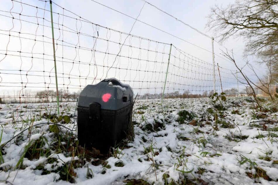 Nur ein elektrisch geladener Zaun soll Schafe auf der Weide vor Wolfsangriffen schützen können.
