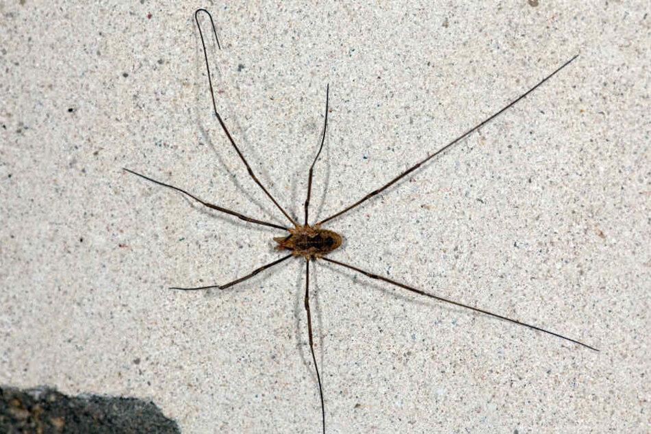 Besonders Spinnenphobiker kriegen panische Angst, wenn sie eine Spinne in der Wohnung entdecken. (Symbolbild)