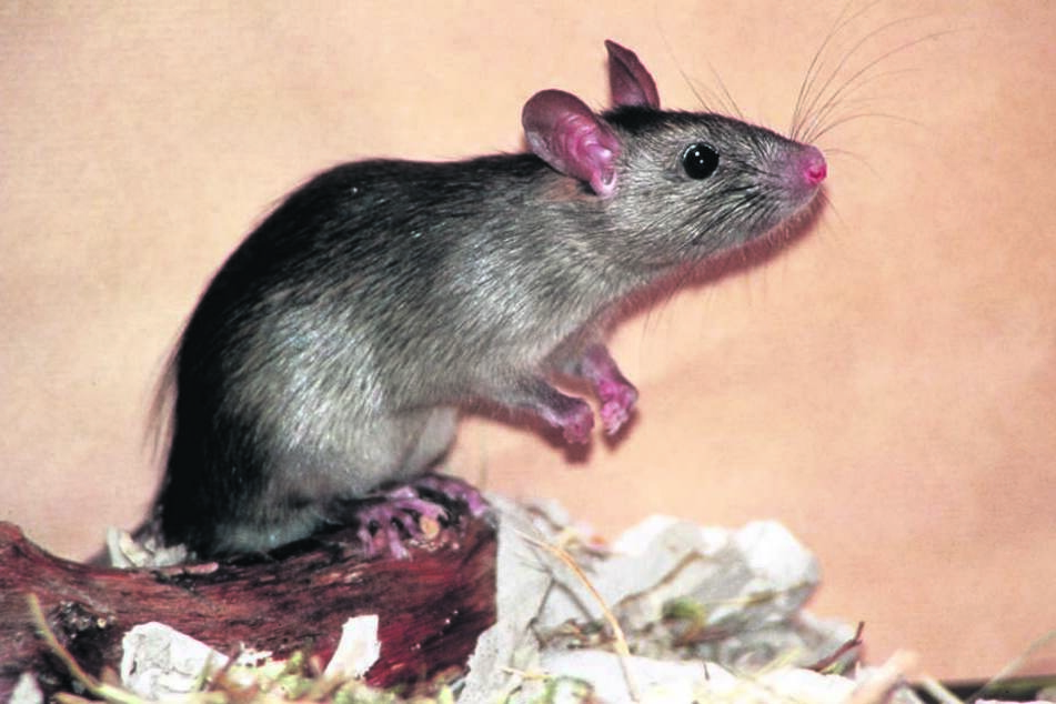 Ratten in der Dusche: Die Familie ekelt sich.