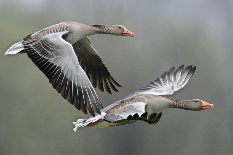 Wildgänse im Flug. (Symbolbild.)