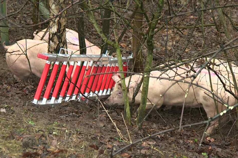 Zahlreiche Schweine büxten aus. (Symbolbild)