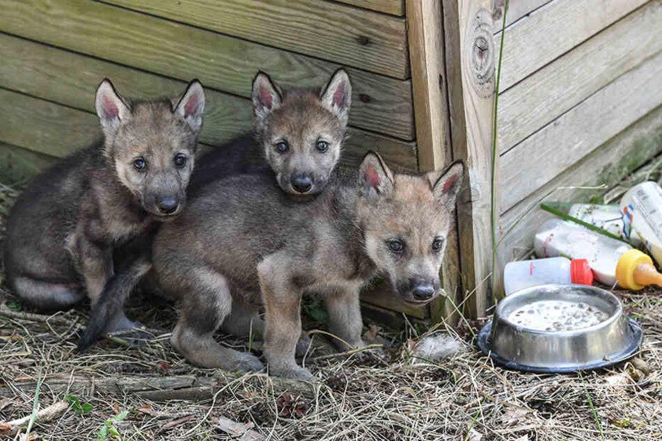 Noch etwas schüchtern wirken dir drei 32 Tage alten Wolfswelpen im Freigehege im Wildpark Schorfheide.