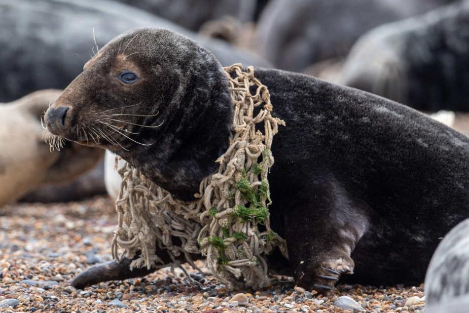 Eine Kegelrobbe hat sich am Strand von Horsey in einem Fischernetz verfangen. Nach Daten der britischen Royal Society for the Prevention of Cruelty to Animals (RSPCA) befindet sich die Zahl von plastikgeschädigten Robben auf einem neuen Höchststand.