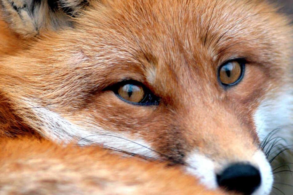 Ein Fuchs wurde in Oberfranken durch Polizisten getötet. Das hat nun Konsequenzen. (Symbolbild)