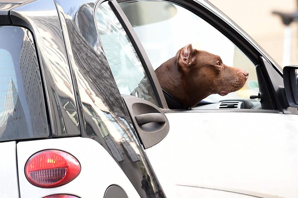 Anschnallpflicht im Auto gilt auch für Hunde!