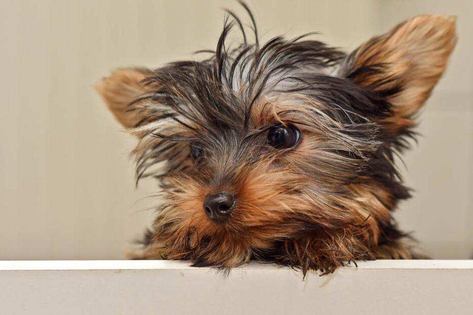Wie genau der kleine Terrier zu Tode gekommen ist, ist noch unklar. Vermutlich waren die Tritte des Mannes tödlich.