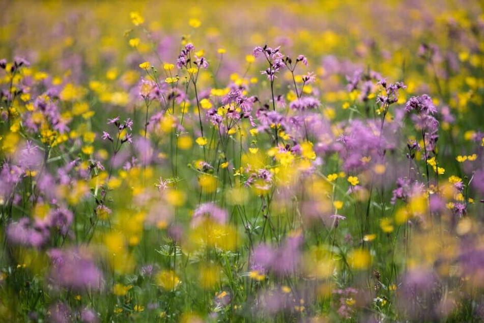 Blumen blühen auf einer Wiese. Zu ihrem Schutz soll es einen Gesetzesentwurf geben.