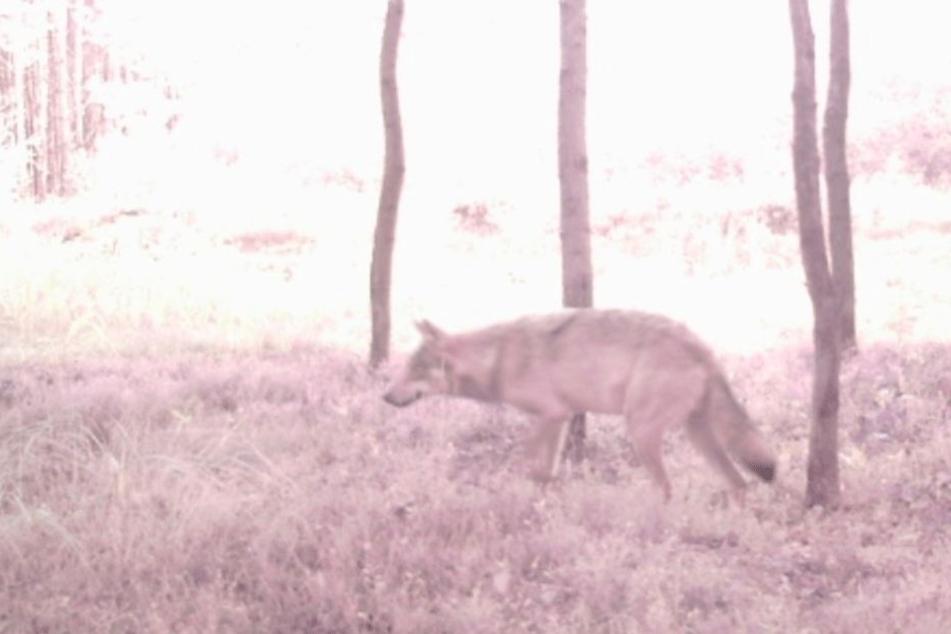 Das Beweis-Bild! Zum ersten Mal lief ein Wolf im Dresdner Gebiet in eine  Fotofalle.