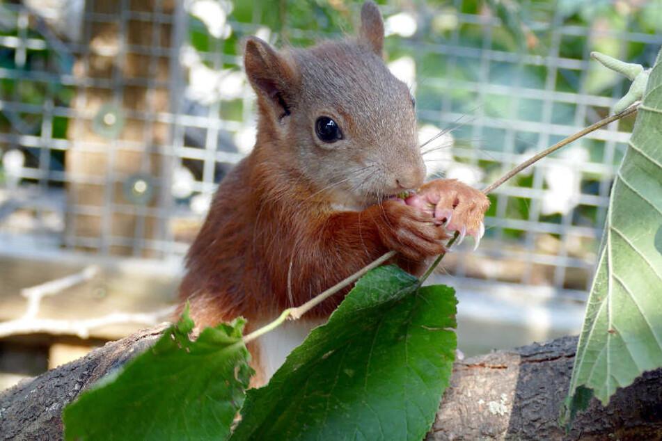 a34a13506e2708 Das Eichhörnchen Pipilotta wurde im August liebevoll aufgepäppelt.