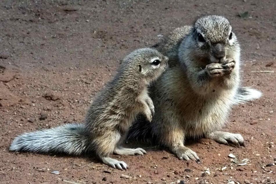 Die süßen Borstenhörnchen kann man endlich wieder in Erfurt bestaunen.