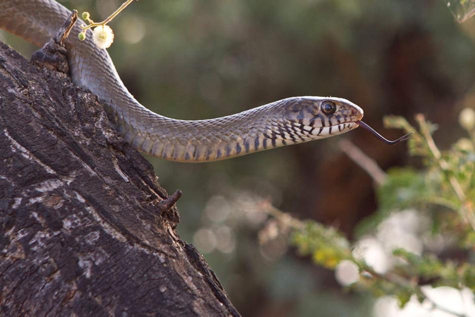 Spaziergänger finden Python in Radebeul