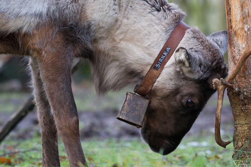 Ein Rentier reibt im Tierpark Sababurg sein Geweih an einem Baumstamm.