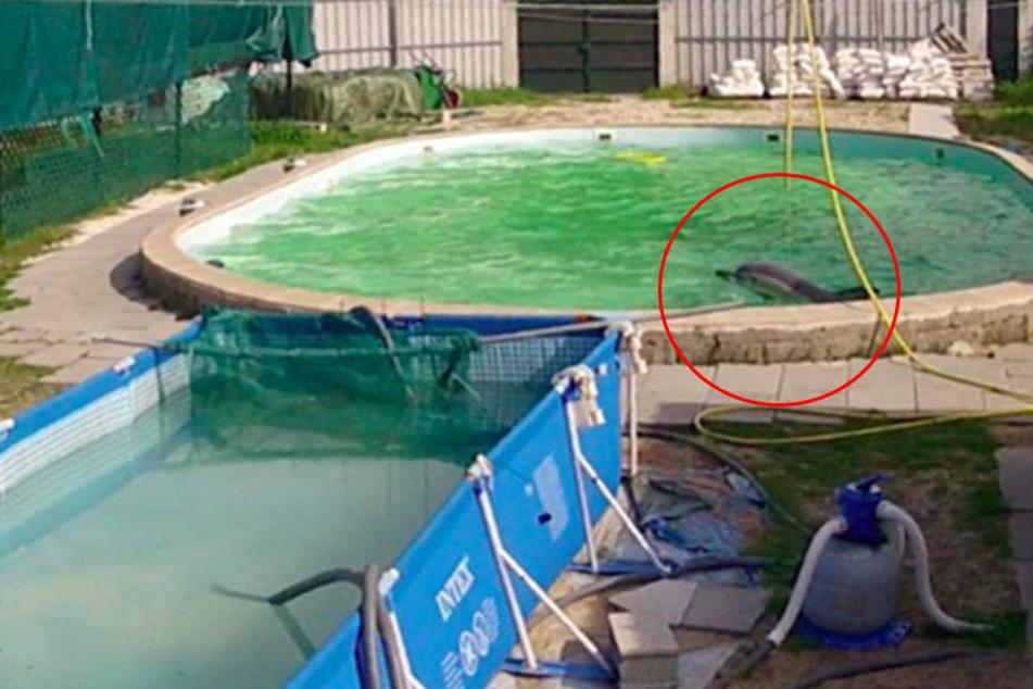 Tierschützer entsetzt: Wilder Delfin muss seit zehn Jahren in Swimmming-Pool leben