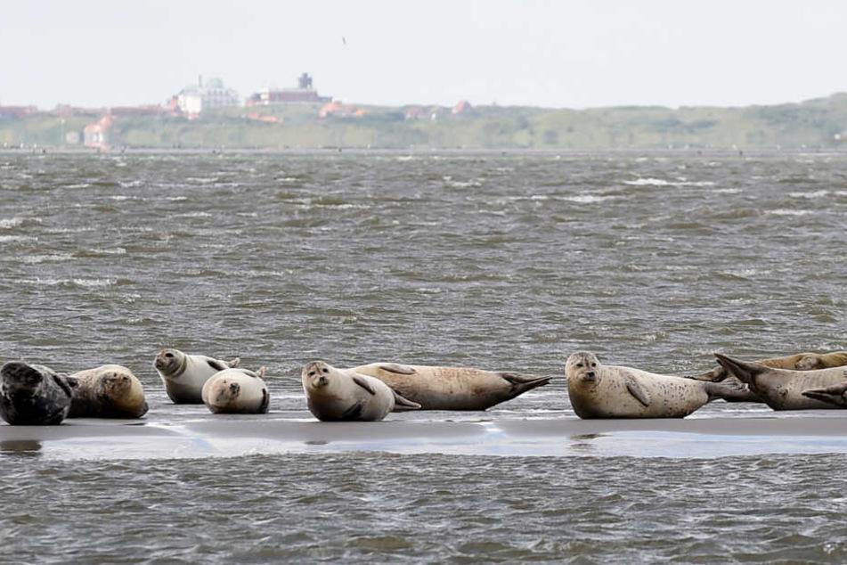 Auf einer Sandbank vor der ostfriesischen Insel Juist liegen mehrere Seehunde. (Archivbild)