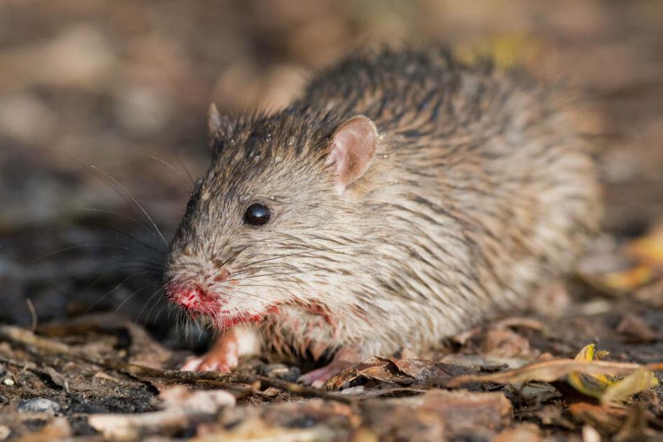 Auf dem Tresen des Dönerladens saß eine dicke Ratte.