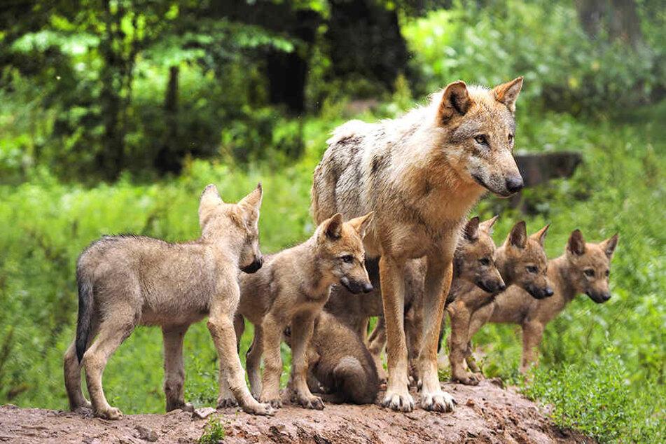 In der Heide lebt jetzt ein Wolfsrudel.