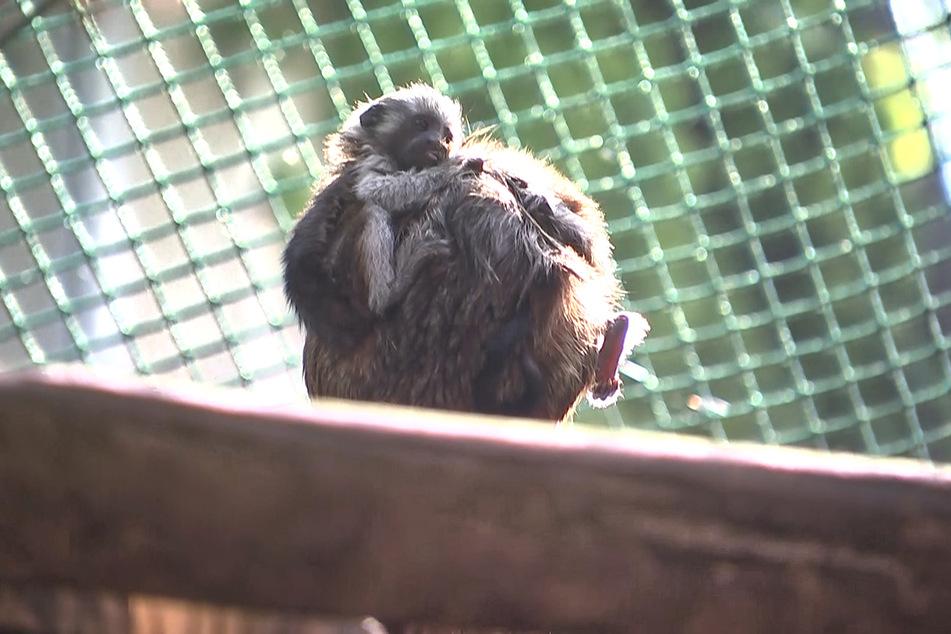 Das Affenbaby krallt sich noch etwas unsicher an seinem Papa fest.