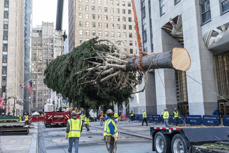 The Rockefeller Center Christmas tree was erected on November 17.