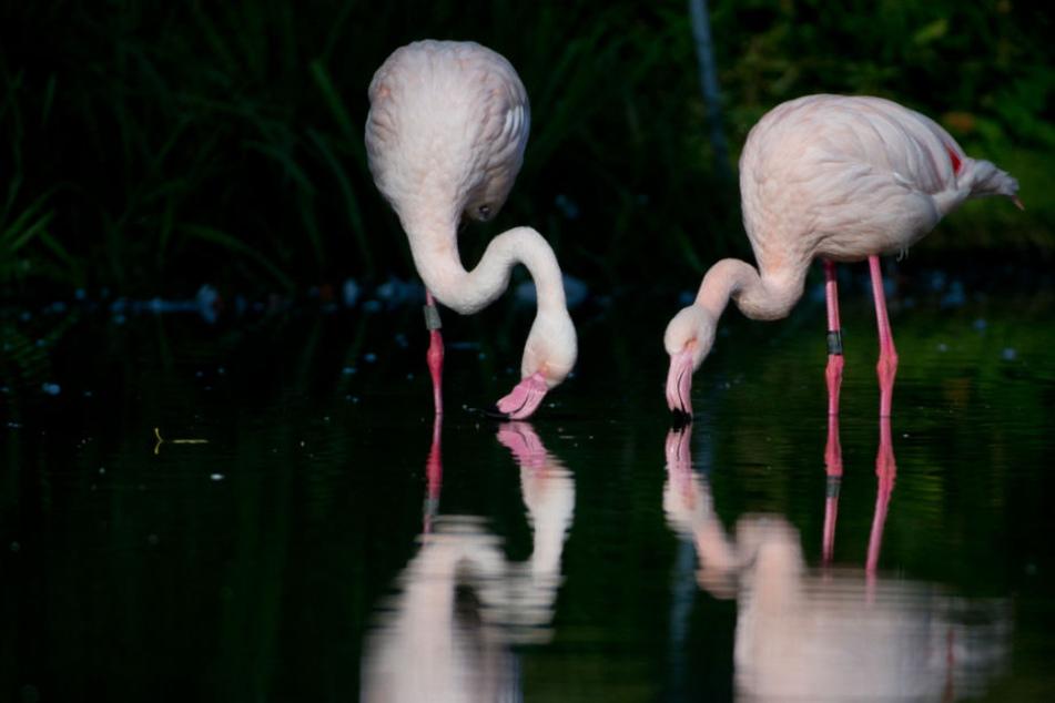 Flamingos in der Stuttgarter Wilhelma. (Archivbild)