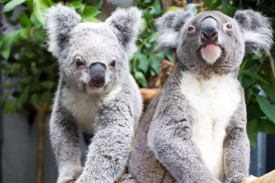 Mandie und Moose müssen noch 30 Tage in Quarantäne bleiben, bevor die Leipziger die niedlichen Zoo-Bewohner zu Gesicht bekommen.