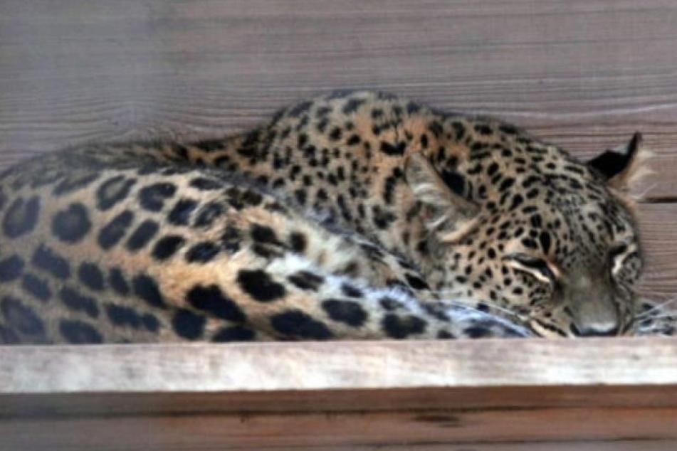 Leopardendame Cleopatra tötete 2006 eine Pflegerin, nun attackierte sie wieder einen Mann.
