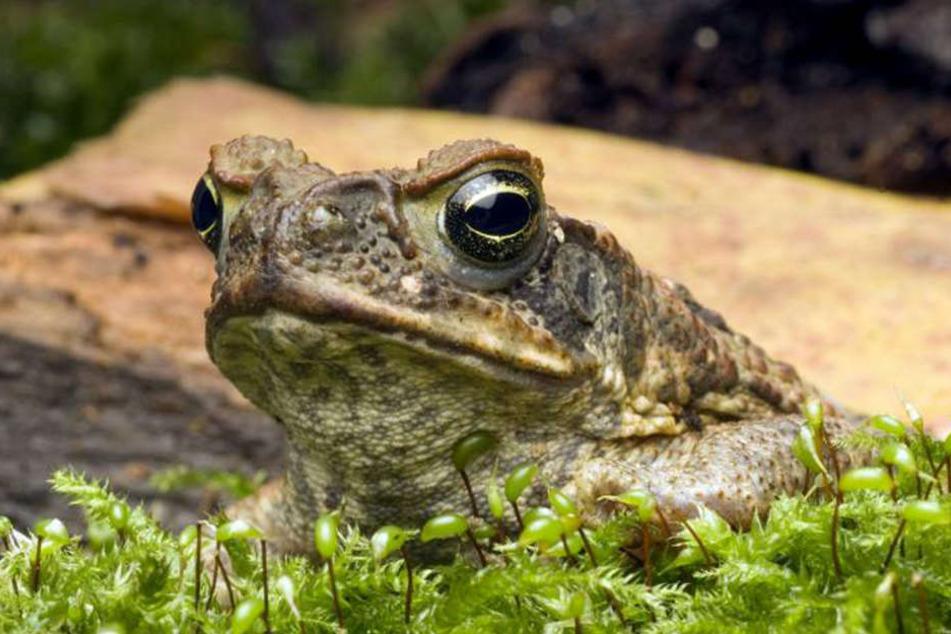 Die Aga-Kröten haben Giftdrüsen auf der Haut. Wer sie isst, stirbt meist.