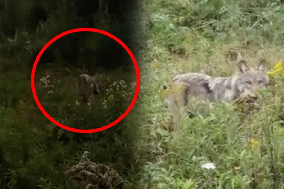 Ein Autofahrer filmte in der Lausitz, wie ein Wolf sich ohne Scheu seinem Auto nähert.