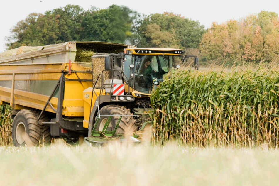 Militante Maisgegner oder Konkurrenten? Täter verstecken Nägel in Maiskolben