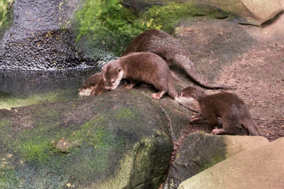 Die drei jungen Otter haben noch keinen Namen.