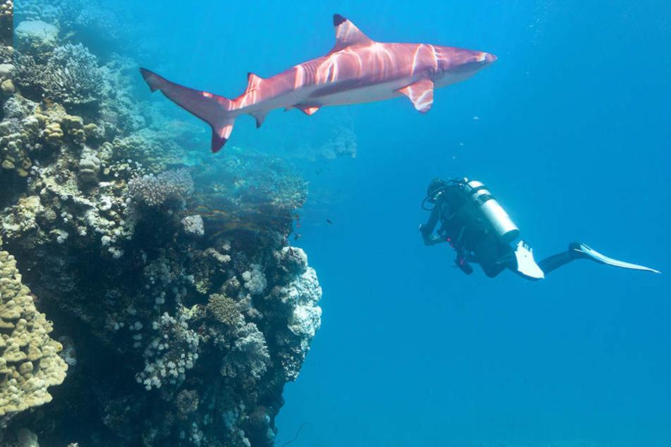 Der Hai griff den 41-Jährigen an und tötete ihn. (Bildmontage)