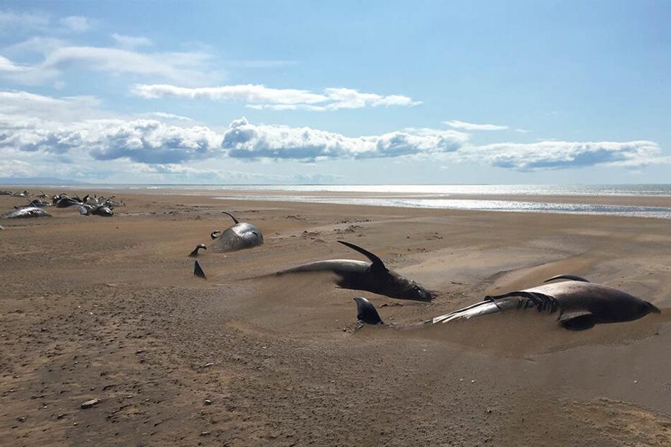 Halbinsel Snaefellsnes: Tote Grindwale liegen an einem abgelegenen Strand.