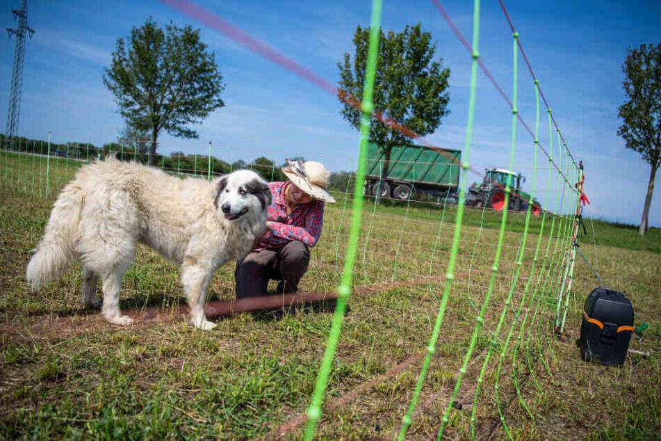 Elke Lampertsdörfer, Schäferin, kniet neben einem ihrer Herdenschutzhunde auf der Schafweide.